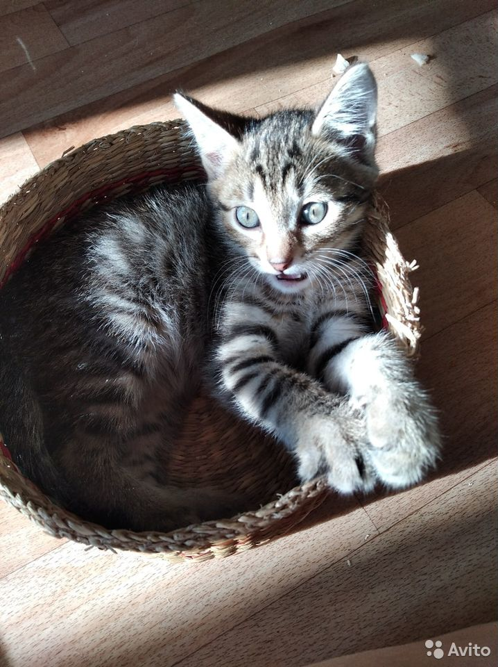 Котята метисы