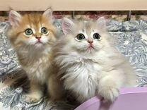 Длинношерстные золотые котята