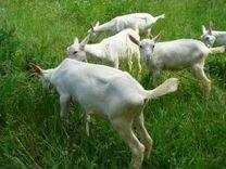Козлята 2,5 месячные Зааненские молочные
