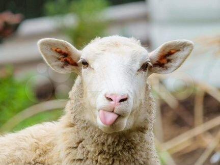 Овцы бараны ягнята - Животные - Объявления в Марксе