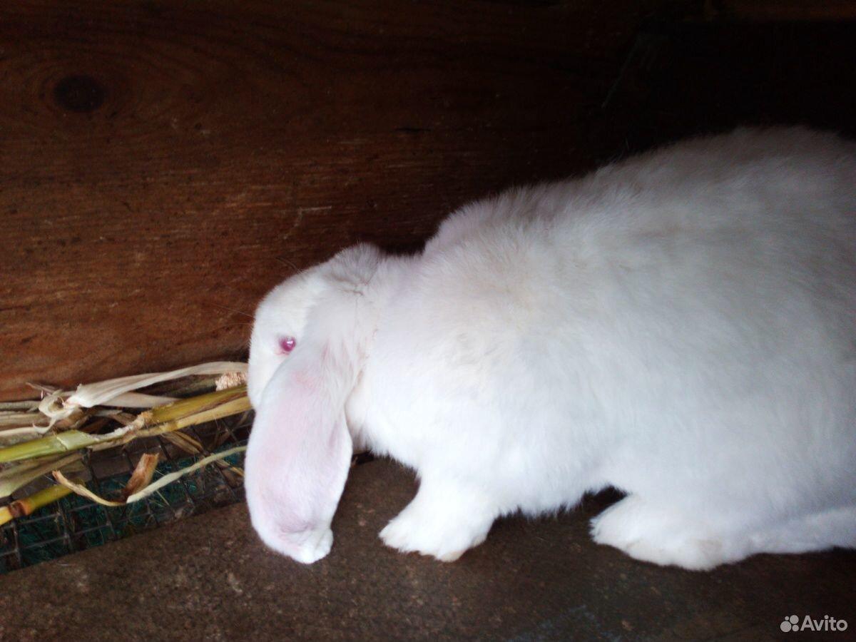 Кролики породы баран  89940099309 купить 2