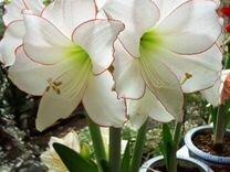 Семена гиппеаструмов: Гранд Дива, Пикоти и Белый — Растения в Москве
