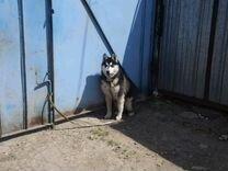 Сибирская хаски
