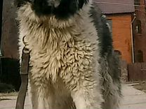 Кавказсказя овчарка щенок